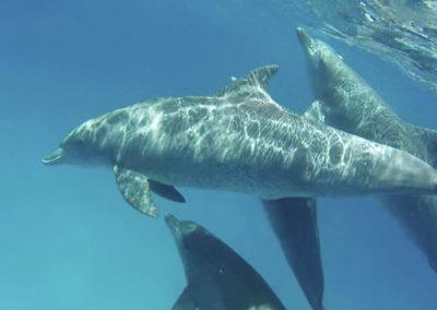 safari-blue-dolphin-1