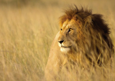 lion-bush