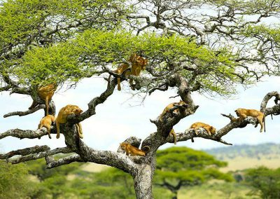 Manyara-National-Park-lions-in-tree