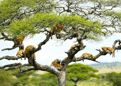 Manyara-National-Park-lions-in-tree