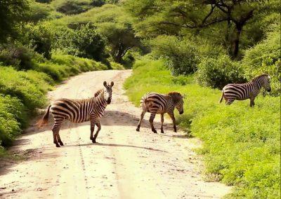 Manyara-National-Park-zebra