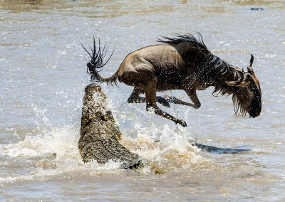 Migration-wildebeest-river-crocodile