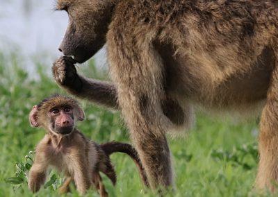 botswana-chobe-baboons