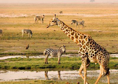 botswana-chobe-giraffe-zebra