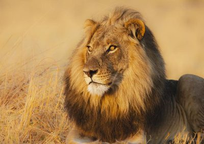 botswana-chobe-lions-male