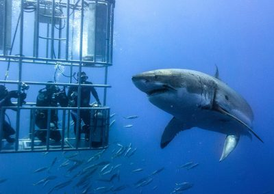 cape-shark-cage-diving