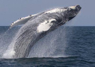 cape-whale-breach
