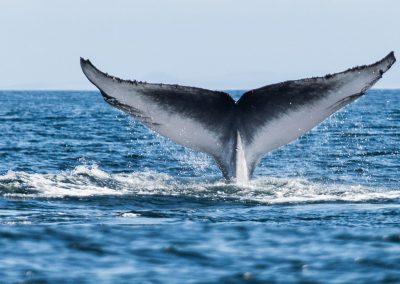 cape-whale-watching-tail