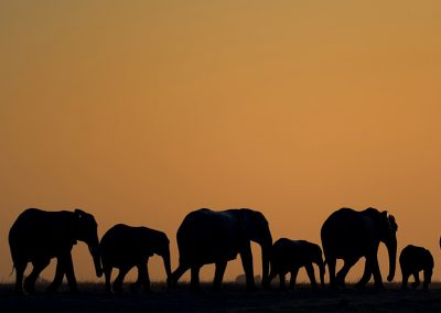 chobe-elephant-sunset