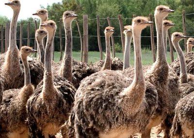 garden-route-Oudtshoorn-ostrich