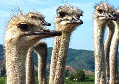 garden-route-Oudtshoorn-ostrich-face