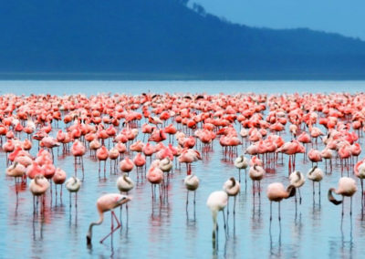 kenya-Lake-Nakuru-flamingo