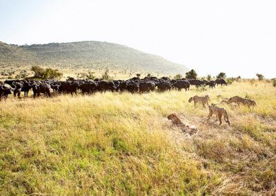 kenya-Masai-Mara-lion-buffalo