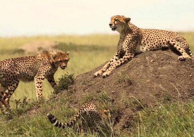 kenya-cheeta-chill-safari