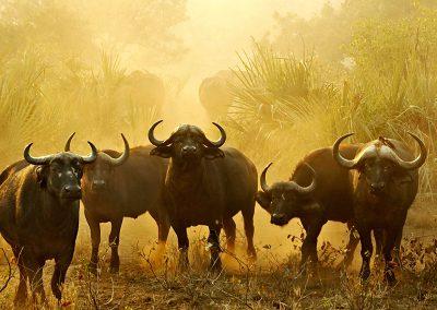kruger-buffalo