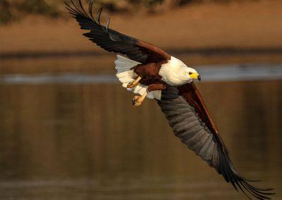kruger-fish-eagle