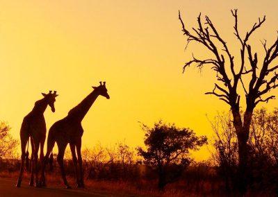 kruger-giraffe-sunset