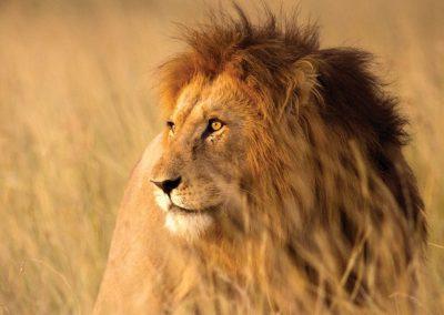 kruger-male-lion