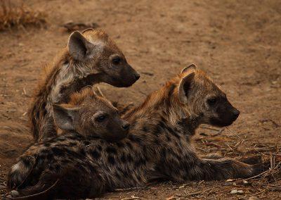 kruger-timbivati-hyena