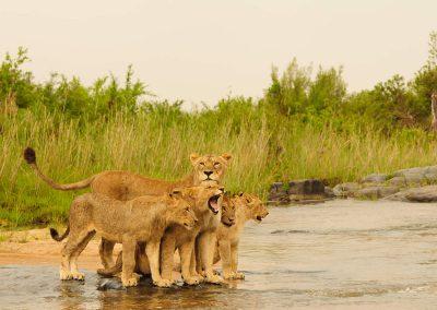 kruger-timbivati-lions-cubs
