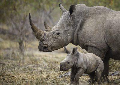 kruger-timbivati-rhino