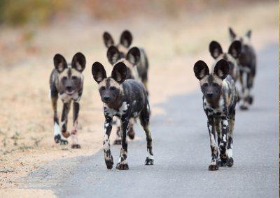 kruger-wild-dog-pack