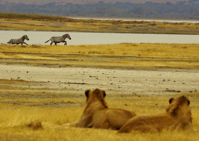 ngorongoro-crater-lions-watch
