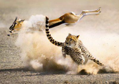 serengeti-cheetah-run