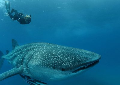 south-africa-rocktail-beach-whale-shark