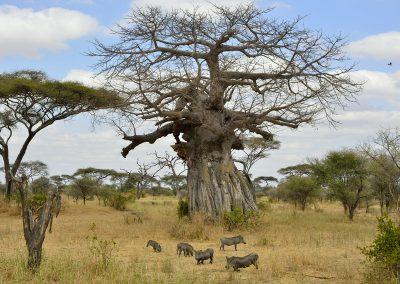 tarangire-national-park-baobab-warthog