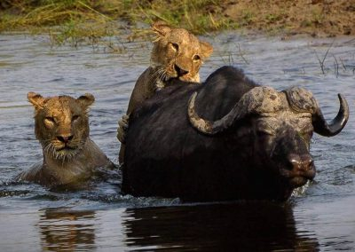vic-falls-chobe-lion-buffalo-river