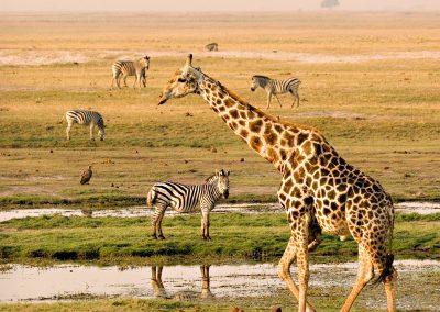 vic-falls-chobe-zebra-giraffe