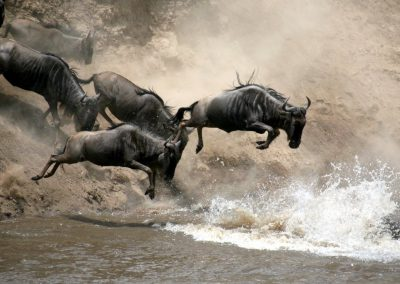wildebeest-jump-migration