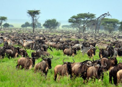 wildebeest-zebra-migration